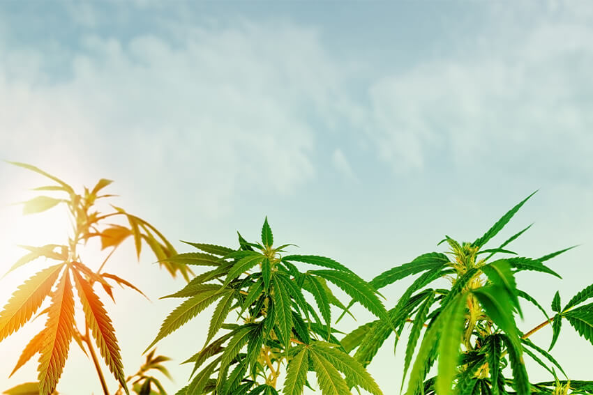 Cannabis Heilmittel oder Einstiegsdroge